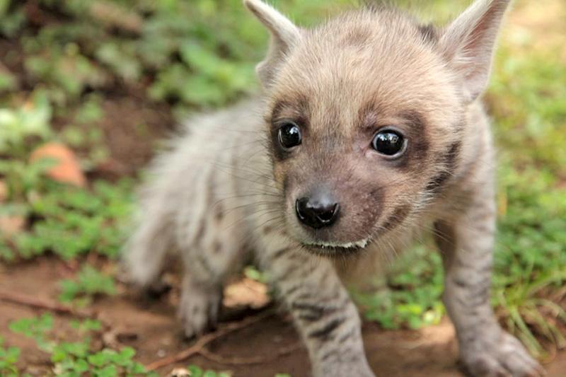 Baby Hyena Named Mooi, a New Resident of Taman Bali Safari