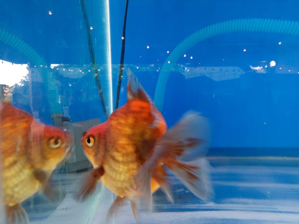 Ikan Koki Pembawa Hoki