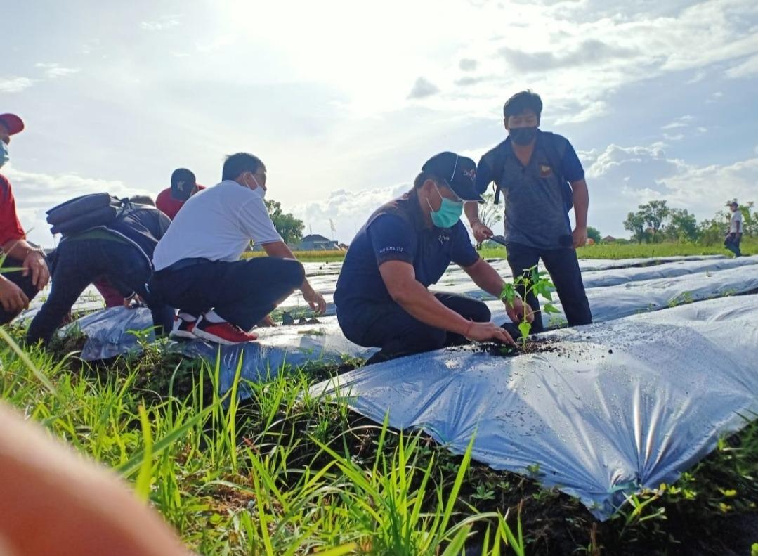 Program Padat Karya. Tanam Pepaya di Desa Kesiman Kertalangu