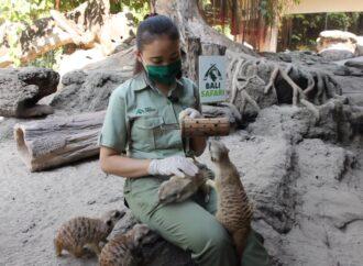 Meski Sepi Pengunjung, Bali Safari & Marine Park Pastikan Pakan Satwa Tetap Tersedia