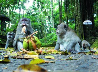 """Biasa, Monyet """"Jalan Jalan"""" ke Hotel. Bukan karena Kurang Pakan"""