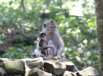 Ubud  Zona Hijau, Monkey Forest Perketat Prokes