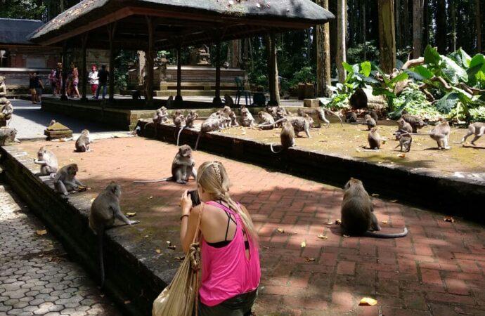 Mengkhawatirkan, Stok Pakan Monyet di Monkey Forest Sangeh