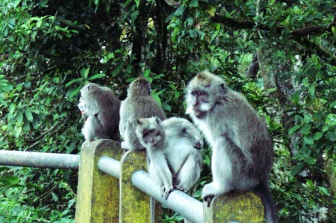 Di Hutan Monyet Wanagiri Anda Bisa Lakukan Ini