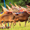 Bull Races as Prominent Cultural Attraction in Buleleng