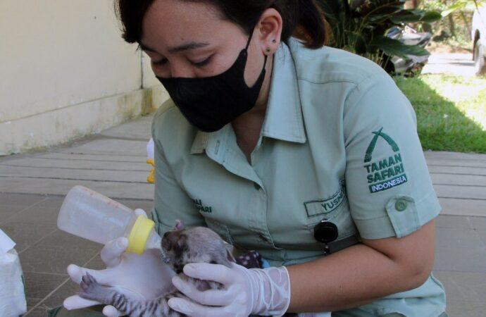Dua Bayi Hyena Lahir di Bali Safari
