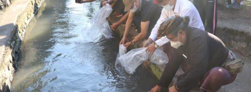 Tebar 10.000 Benih Ikan Nila di Mengwi