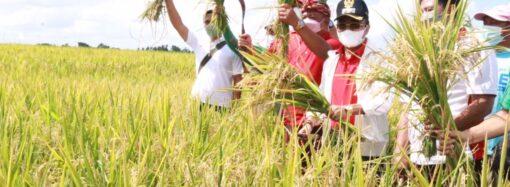 Panen Perdana M70D di Desa Kelating