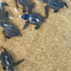 Hotel Nikko Bali Releases Turtle Hatchlings in Benoa Beach Area