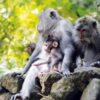 Ubud Monkey Forest Already Opened